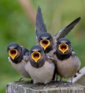 uccellini cantando