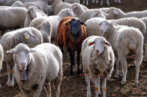 black-sheep2